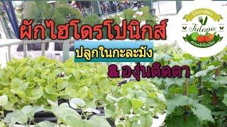 Hydroponics home garden ||ผักไฮโดรโปนิกส์ ปลูกในกะละมัง ง่ายๆ, grow vegetable at home. ep.61