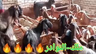 نطلع بالحلويات دبابات شامي رواخي من دكر قبرصي اسعار تبدأ من3 الاف.. طنطا.01153553100..01273943511