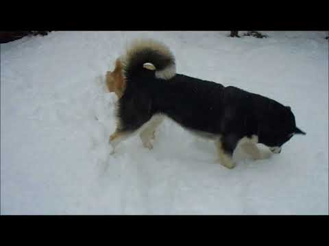 Alaskan Malamute and Golden Retriever inspecting snow-covered backyard