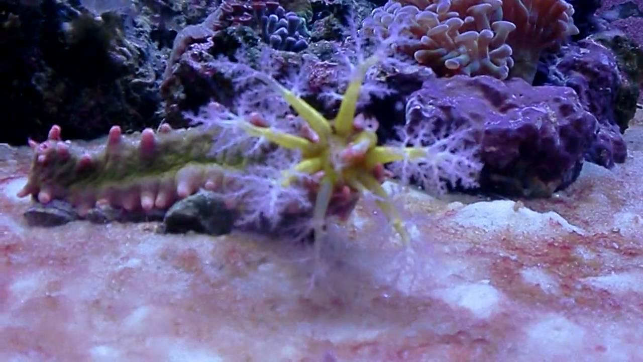 Sea cucumber eating. Amazing! - YouTube