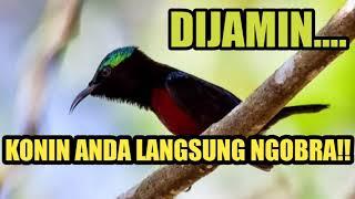 Pancingan Konin Agar Langsung Ngobra Dan Gacor - Ocehan Kolibri Ninja