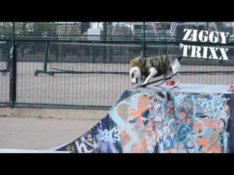 Staffordshire Bull Terrier having fun @ the Skate Park - Ziggy Trixx