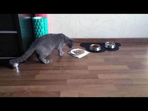Tuusti the Russian blue being suspicious about her food
