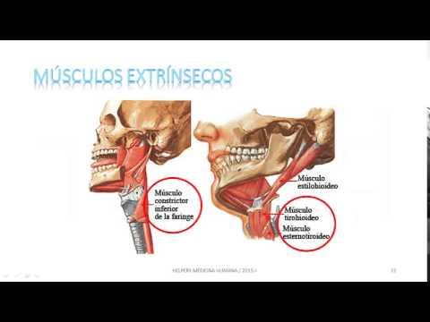 Anatomía de la laringe - YouTube