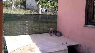 Satılık Yavru Köpekler,yavru Köpek Satışı  Www.minikkopekler.com--.mp4