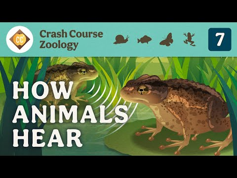 How Animals Hear: Crash Course Zoology #7