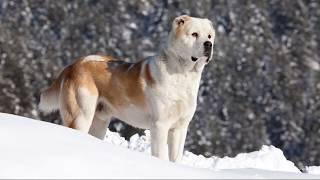 Среднеазиатская овчарка (Central Asian Shepherd Dog) - порода собак