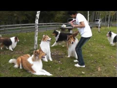Rough Collie meeting in Japan2012NO.1