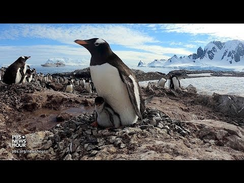 360 video: Join a penguin colony in Antarctica