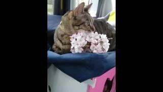 桜に少し興味しめす…?