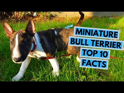 Miniature Bull Terrier - TOP 10 Interesting Facts