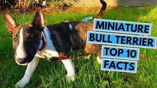 Miniature Bull Terrier  TOP 10 Interesting Facts