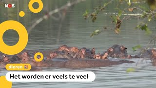 Nijlpaarden van drugsbaas Escobar zorgen voor problemen