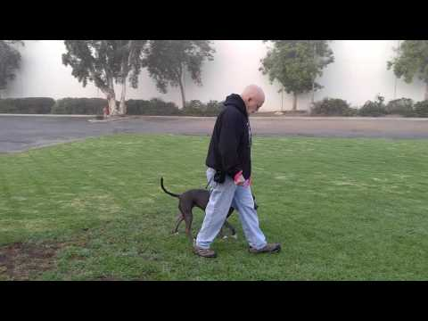 Working with leash reactive dog.