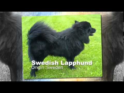 Swedish Lapphund Dog Breed