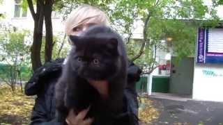 Черный котенок экзот из питомника PCA