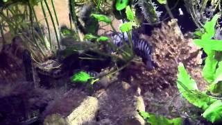 Zebrabuntbarsche im Aquarium