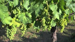 Tuscan wine tours: the Birth of the Sangiovese Grape