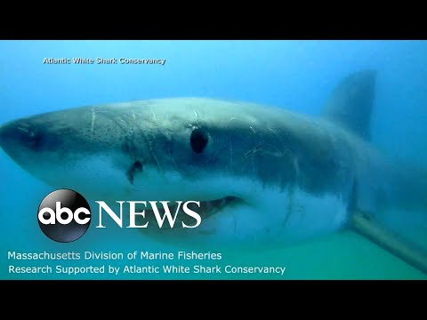 10-foot great white shark detected off New Jersey