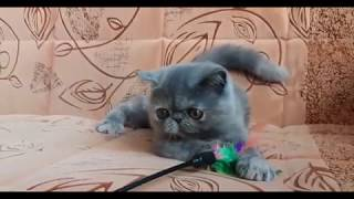Экзотический короткошерстный котенок
