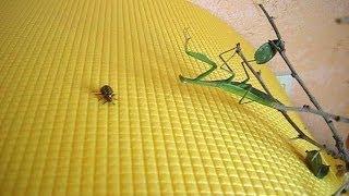 Колорадский жук и Богомол