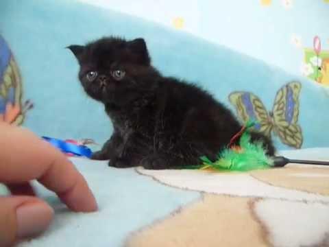 Кошки и котята экзотической короткошерстной. На доске объявлений olx беларусь легко и быстро можно купить котенка породы экзотическая короткошерстная. Заведи друга прямо сейчас!