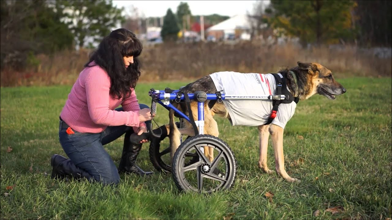 How to place your pet into the Walkin Wheels Dog Wheelchair