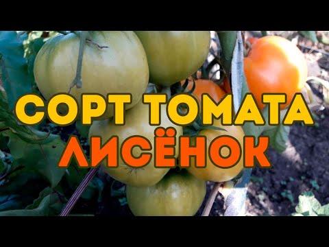 Сорт томата Лисёнок! Полный обзор сорта | выращивание | томатов_2020 | открытого | томатов | лисёнок | томаты | томата | семена | лучшие | грунта
