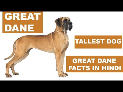 Great Dane Dog Facts In Hindi | Dog Facts | Popular Dogs | The Ultimate Channel