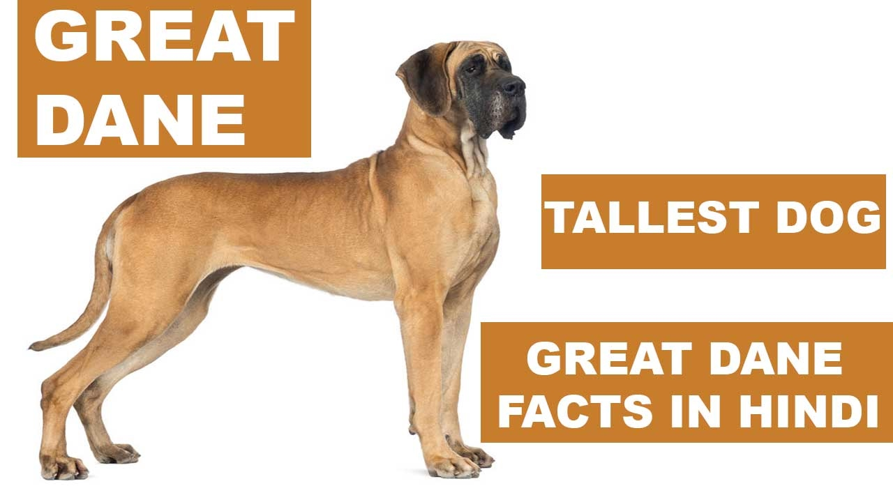 great dane dog facts in hindi dog facts popular dogs the