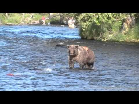 Wounded Grizzly Bear Fishing & Catching Salmon - Russian River - Alaska