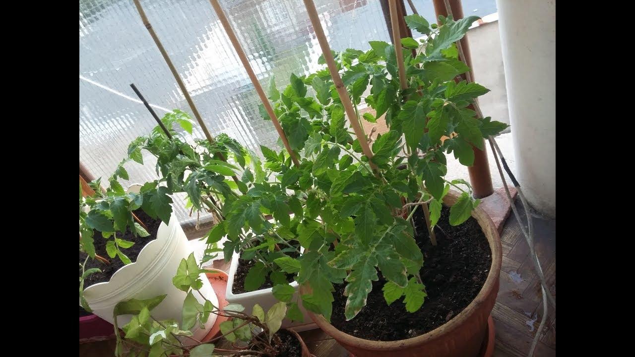 Mój Ogródek Na Balkonie Pomidorki Koktajlowe I Inne