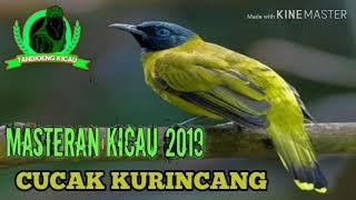 MASTERAN SUARA KICAU CUCAK KURINCA / SIPACAH