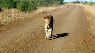 Leopard that thinks it's a Cheetah thumbnail