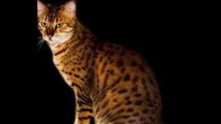 Египетская мау (кошка)