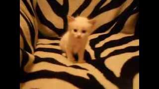 Продам красивого тайского котёнка. Т.89020032544 город ульяновск.