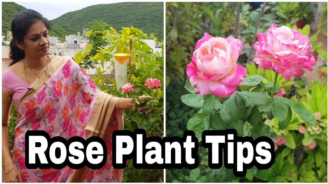 Solutions for Rose plant problems/గులాబీ మొక్కలకు వచ్చే సమస్యలకు కొన్ని చిట్కాలు  #madgardener #tips