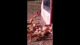 Les poulets BIO