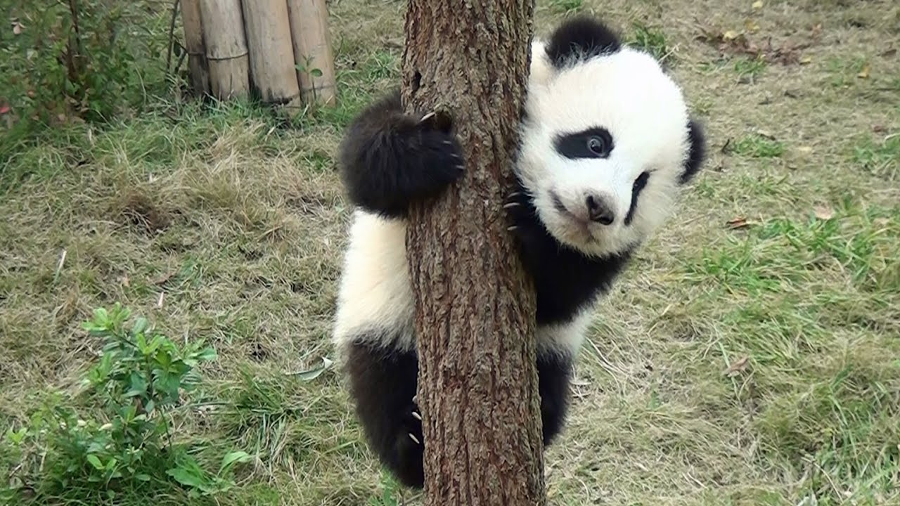 Panda Online Spiel