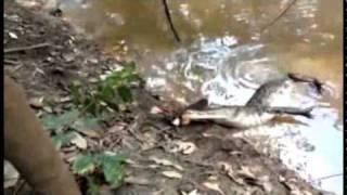 Alligator angriber elektrisk ål og bliver lam