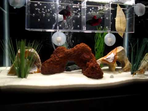 My betta tank setup youtube for How to setup a betta fish tank