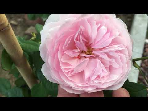 Розы Оливия, Транквилити и сиреневая Будлея! ПЕРВОГОДКИ