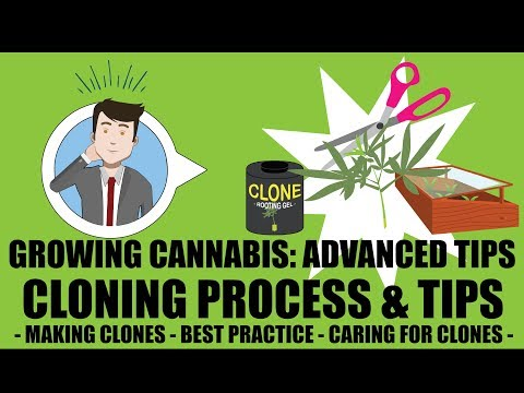 Marijuana Cloning Steps & Process - Growing Cannabis 201: Advanced Grow Tips