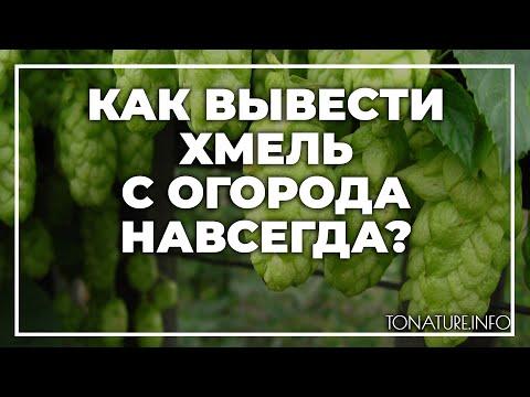 Как вывести дикий виноград с огорода навсегда
