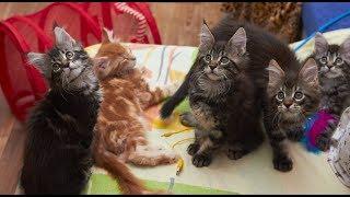 28.12.2018 - котята Аврорки * порода: Мейн-кун * возраст: 2 мес. *