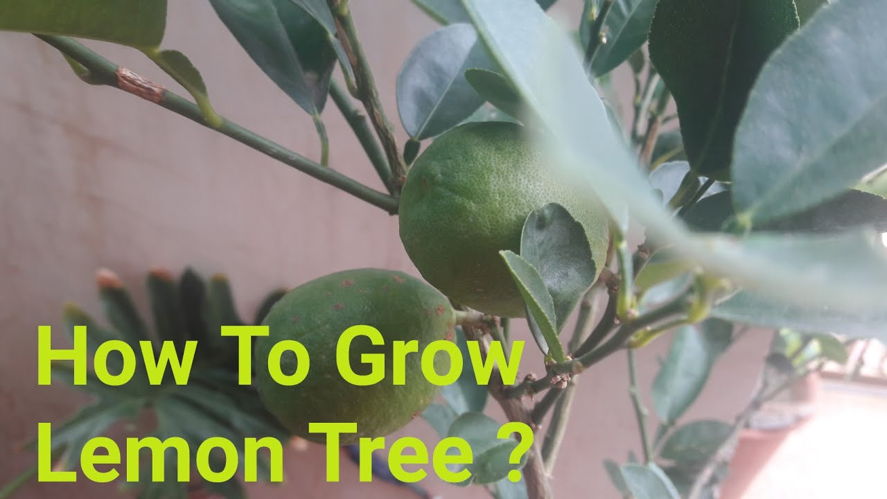 how to grow lemon tree care 6 july 2017 youtube. Black Bedroom Furniture Sets. Home Design Ideas