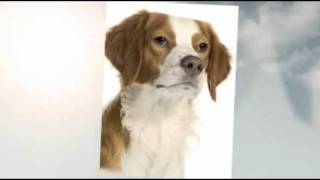 Are Brittany Spaniels Good Dogs