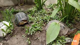 Cara kasih makan kura kura Ambon dan makanan kesukaannya