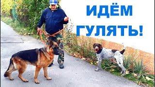 Амир и Джерри идут гулять. Немецкая овчарка и дратхаар. Amir and Jerry go for a walk.
