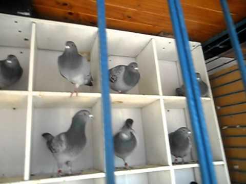 palomas mensajeras de amato